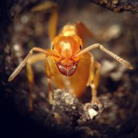 Lasius umbratus by Art-de-Viant