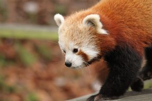 Red Panda by James-Marsh