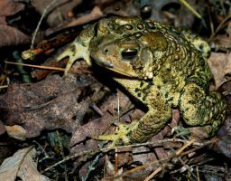 Warty Toad by jeffrade