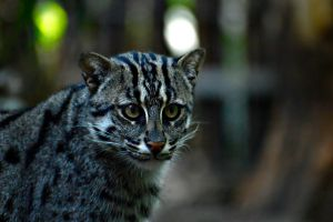 Fishing cat, not fishing by NB-Photo