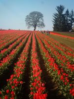 tulips by jaquenettalove