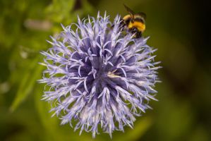 Bee on Thistle by johnford101
