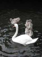 Animals 095 swan with young by Dreamcatcher-stock