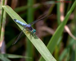 Blue Dragon Fly at Lime Hollow Center by FrodoPrime