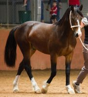 STOCK - 2014 Welsh QLD Show-74 by fillyrox