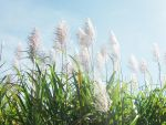 Sugarcane Flowering by seek-and-hide