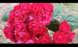 Red roses by RazielMB-PhotoArt