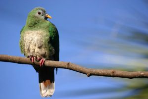 Black Chinned Fruit Dove 02 by 1ASP1