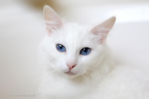 white ragdoll 1 by venomxbaby