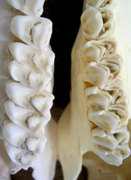 Deer Teeth Comparison Close Up by FossilFeather
