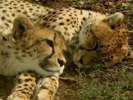 Sibling Unrivalry - Cheetahs by roamingtigress
