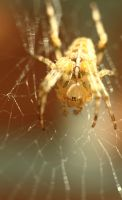 Spider by roaldfre