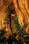 Yew and Ivy by EarthHart