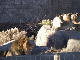 Male and Female African Lions by Deede25