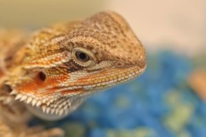 BEARDED DRAGON by ELKAPL
