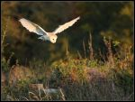 Hovering Barn Owl by cycoze