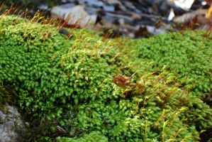 MY VERY FAVORITE MOSS-CLOSE UP! by thorminka