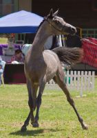 STOCK - TotR Arabians 2013-485 by fillyrox