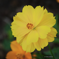 Marigold Yellow by Mogrianne