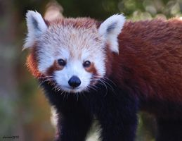 Red Panda 03 by DanielleMiner