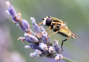Hoverfly on lavender by Vitaloverdose