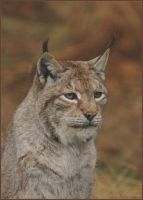Male Lynx up close by Taseevo
