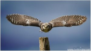 2014-33 Northern Hawk Owl by W0LLE