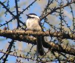 Chickadee on Leafing Tree by JocelyneR