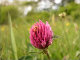 Close-up Red Clover, Trifolium pratense by squareprismish