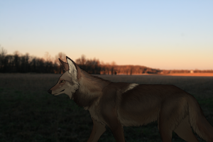 IMG 5509 with added coyote by Canis-ferox