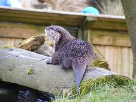 European Otter 01 by Axy-stock