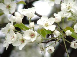 Blossoms of Purity by Ithaedral