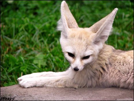 Daylight suits to fennec fox by woxys