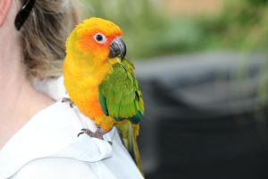 Peach Faced Conure by N-ScapePhotography