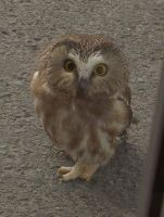 Saw whet Owl by bloodrose20
