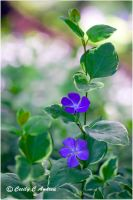 Periwinkle by CecilyAndreuArtwork