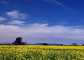 Blue Sky, Golden Field by smfoley