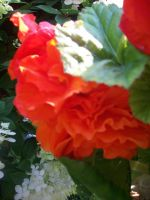 red orange roses side view by xXtimeless-stockXx