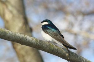 Spring Swallow by Ken-Jones-Imagery