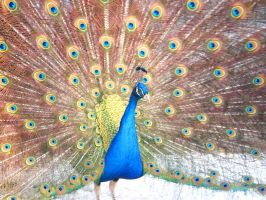 Peacock by ToryHartley