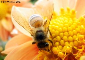 Common Honey Bee Macro by BreeSpawn