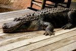 Alligator by LadyPhotographer492