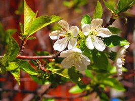 White Sour Cherry Blossoms by Kitteh-Pawz