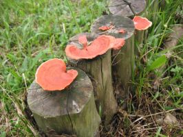 Orangy Red Fungi by Asaciel