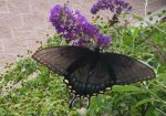 Swallow Tail Butterfly by HaleyGottardo