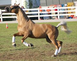 Palomino, leaping - Stock by hh-harley