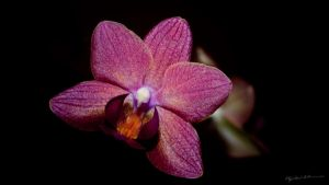 The dwarf orchid II by BenoitJWild