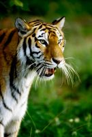 Tiger 22 by Art-Photo