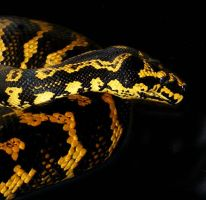 Hornet2 - Jungle Carpet Python by Toxic-Muffins-Studio