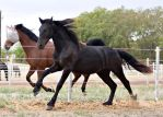 Friesian Yearling Stock 1 by Deirdre-T
